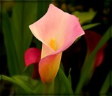 Pink Calla Lily by trixxie17, photography->flowers gallery