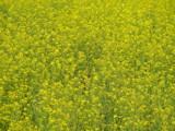 Yellow Field by hashashin, Photography->Flowers gallery