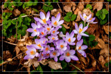 Foofy Friday Crocuses (2) by corngrowth, photography->flowers gallery