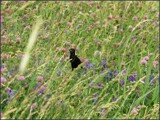 Bobolink In Glory by Pjsee16, photography->birds gallery