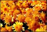 Floribundi.Orangosi by biffobear, Photography->Flowers gallery