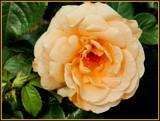 Softly Peach by trixxie17, photography->flowers gallery