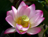 lotus flower by jeenie11, Photography->Flowers gallery