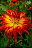 Dahlia Show 03 by corngrowth, photography->flowers gallery
