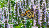 Monarch on the Hyssop by Pistos, photography->butterflies gallery