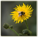 The Dandylion and  Bee by slybri, Photography->Insects/Spiders gallery
