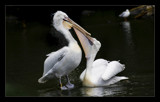 Pelicans by JQ, Photography->Birds gallery