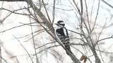 The Female Downy Woodpecker by tigger3, photography->birds gallery