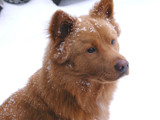 Copper With Snow by james1angie, photography->pets gallery