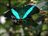 Emerald Swallowtail by trixxie17, photography->butterflies gallery