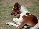 Peaceful Pony by foxykidd2002, Photography->Animals gallery
