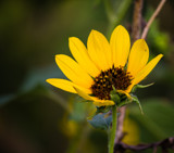 False Sunflower by Pistos, photography->flowers gallery