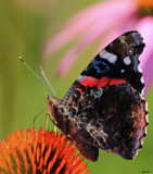 A Flutterby Close Up by tigger3, photography->butterflies gallery