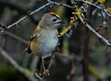 Goldie by biffobear, photography->birds gallery