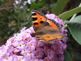 Butterfly on the Buddleia by cat62, Photography->Butterflies gallery