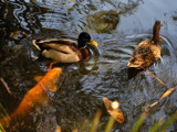 Ducks and Koi by kimcande, Photography->Birds gallery