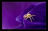 Purple Abyss by kodo34, Photography->Insects/Spiders gallery