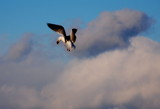 seagull in the clouds by solita17, Photography->Birds gallery