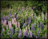 Lupins by GIGIBL, photography->flowers gallery