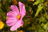 Mexican Aster (Cosmos Bipinnatus) 3 by corngrowth, photography->flowers gallery