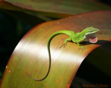 Little Greenie by madmaven, Photography->Reptiles/amphibians gallery