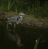 The Stalker by biffobear, photography->birds gallery