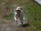 A good shake to dry off by pauljgrogan, photography->pets gallery