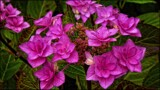 Lacecap Hydrangea by LynEve, photography->flowers gallery
