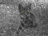 Jungle Cat by bfrank, contests->b/w challenge gallery