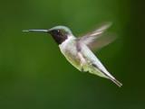 Male Humming Bird by rahto, photography->birds gallery