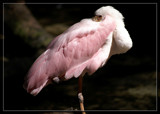 Spoonbill Flamingo by Foxfire66, photography->birds gallery