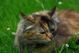 """My own cat """"Pussel"""" (Puzzle) by Snufflin, photography->pets gallery"""