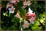 Weigela by trixxie17, photography->flowers gallery