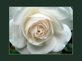 A Whiter Shade Of Pale by LynEve, Photography->Flowers gallery