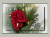 Red Rose by LynEve, photography->flowers gallery