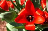 Blazing Red by Stevenn120, Photography->Flowers gallery