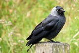 Jackdaw by Toto_san, photography->birds gallery