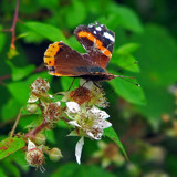 The Survivor by biffobear, photography->butterflies gallery
