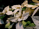 ~24 Days 'till Christmas~ by mimi, Photography->Flowers gallery