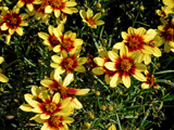 Coreopsis by trixxie17, photography->flowers gallery