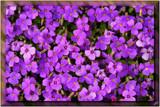 pretty in purple............ by fogz, Photography->Flowers gallery