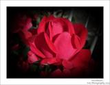 Sweetheart Wall Art by Roseman_Stan, photography->flowers gallery