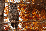 Autumn Owl by Eubeen, photography->birds gallery