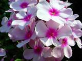 Pretty in Pink by Stevenn120, Photography->Flowers gallery