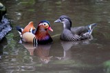 Mr & Mrs Mandarin by rozem061, Photography->Birds gallery