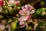 Apple's First Stage by corngrowth, photography->flowers gallery