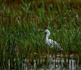 Egret by biffobear, photography->birds gallery