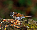 Reed Bunting by biffobear, photography->birds gallery