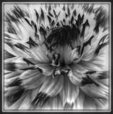 Dahlia Dream in B&W by trixxie17, contests->b/w challenge gallery