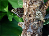 Camouflage by wheedance, Photography->Butterflies gallery